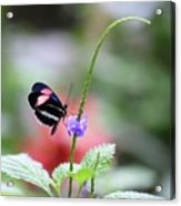 Pink And Blue Butterfly Acrylic Print