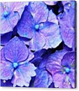 Pink And Blue Hydrangea 4 Acrylic Print