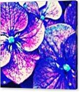 Pink And Blue Hydrangea Acrylic Print