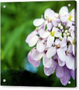 Pink Cluster Acrylic Print