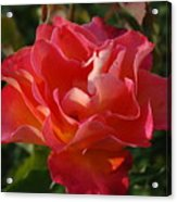 Pink And Gold Rose Acrylic Print
