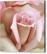 Pink And Ivory Rose Portrait Acrylic Print by Jennie Marie Schell