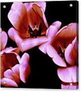 Pink And Orange Tulips Acrylic Print