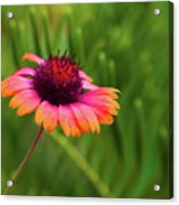 Pink And Orange Wild Daisy Acrylic Print