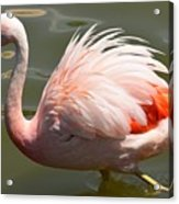 Pink And Proud Acrylic Print