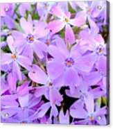 Pink And Purple Spring Acrylic Print