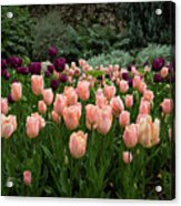 Pink And Purple Tulips Acrylic Print