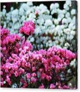 Pink And White Azelas Acrylic Print