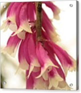 Pink And White Bells Acrylic Print