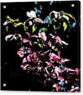 Pink And White Blossoms Acrylic Print