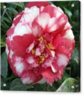 Pink And White Camillia Acrylic Print