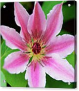 Pink And White Clematis Acrylic Print