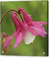 Pink And White Columbine Acrylic Print