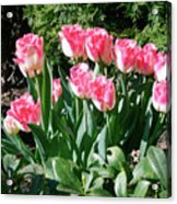 Pink And White Fringed Tulips Acrylic Print