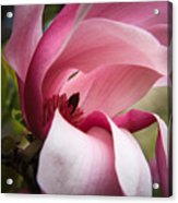 Pink And White Magnolia Acrylic Print