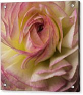 Pink And White Ranunculus Acrylic Print
