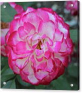 Pink And White Rose Square Acrylic Print