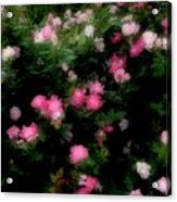 Pink And White Roses Acrylic Print