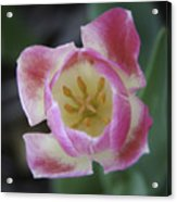 Pink And White Tulip Center Squared Acrylic Print