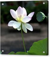 Pink And White Water Lily With Green Pod Acrylic Print