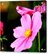 Pink And Yellow Cosmo Acrylic Print