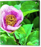 Pink And Yellow Flower Acrylic Print