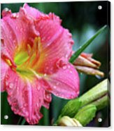 Pink And Yellow Lily After Rain Acrylic Print
