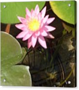 Pink And Yellow Lotus Flower Acrylic Print