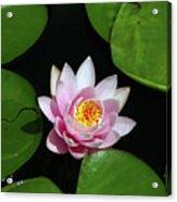 Pink And Yellow Lotus Waterlily Acrylic Print
