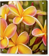 Pink And Yellow Plumeria 2 Acrylic Print