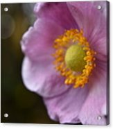 Pink Anemone Acrylic Print