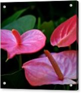 Pink Anthuriums Acrylic Print