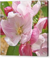 Pink Apple Blossoms Art Prints Spring Trees Baslee Troutman Acrylic Print