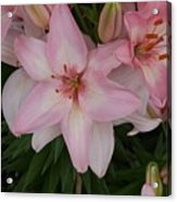 Pink Asiatic Lilies 1 Acrylic Print