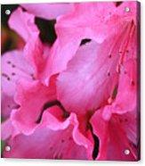 Pink Azalea Drama Acrylic Print