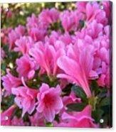 Pink Azaleas II Acrylic Print