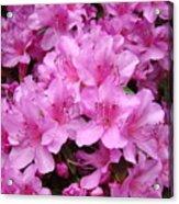 Pink Azaleas Summer Garden 6 Azalea Flowers Giclee Art Prints Baslee Troutman Acrylic Print