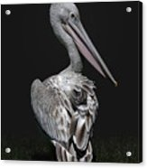 Pink-backed Pelican Rear View Acrylic Print