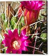 Pink Barrel Cactus Flowers Acrylic Print
