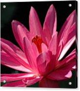 Pink Beauty Acrylic Print