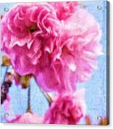 Pink Bellos Acrylic Print
