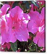 Pink Bevy Of Beauties Acrylic Print