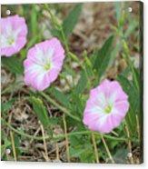 Pink Bindweed Acrylic Print