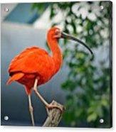 Pink Bird Acrylic Print