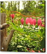 Pink Bleeding Hearts Acrylic Print