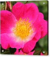 Pink Bloom Acrylic Print