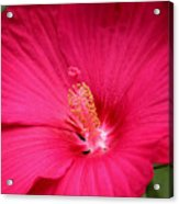 Pink Bloomers Acrylic Print