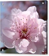 Pink Blossom Nature Art Prints 34 Tree Blossoms Spring Nature Art Acrylic Print
