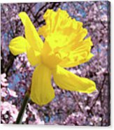 Pink Blossom Spring Trees Yellow Daffodil Flower Baslee Troutman Acrylic Print