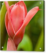 Pink Blossoming Flower Acrylic Print